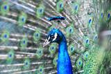 Asiatischer Blauer Pfau in Eggenberg