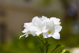 plumeria or frangipani exotic flower outdoors