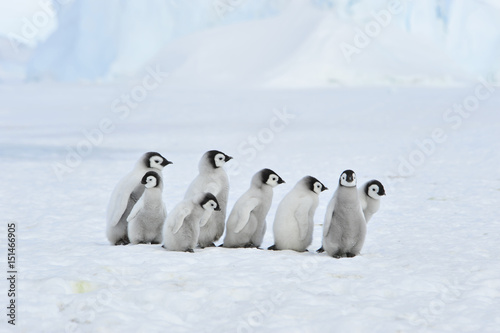 Foto op Canvas Antarctica Emperor Penguin chicks in Antarctica