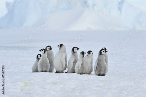 Papiers peints Antarctique Emperor Penguin chicks in Antarctica