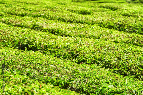 Scenic bright green rows of bushes on tea plantation