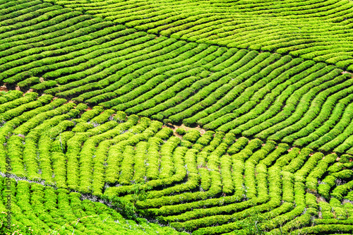 Amazing rows of bright green tea bushes. Rural landscape