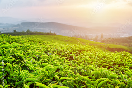 Young tea leaves at tea plantation in rays of sunset