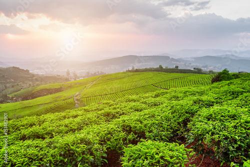 Beautiful view of tea plantation at sunset