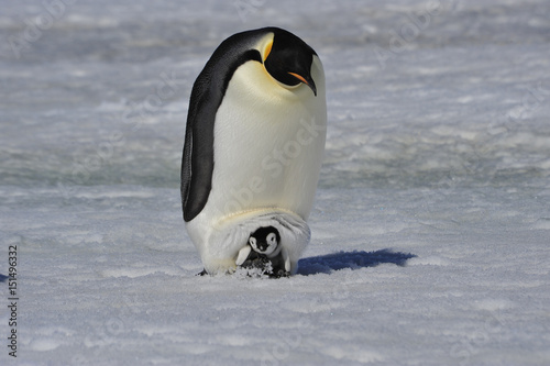 Fotobehang Antarctica Emperor Penguin with chick