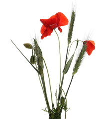 red poppy and buds isolated on white background
