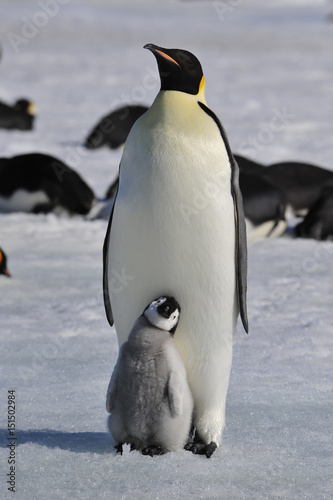 Staande foto Antarctica Emperor Penguins with chicks