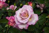 Rara e bella rosa di color viola