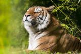 tigre félin féroce prédateur animal mammifère carnivore dangereux bengal indonésie mangeur homme