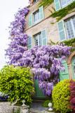 Glycine sur façade de maison - 151547121