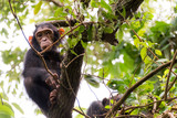 YOUNG CHIMP IN MAHALE'S JUNGLE