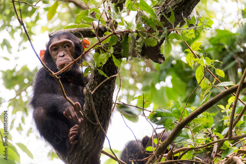 Poster YOUNG CHIMP IN MAHALE'S JUNGLE