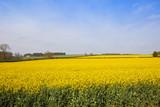 yellow oilseed rape crop