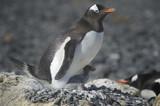 Pingüinos Papúa en la Peninsula Antartica.