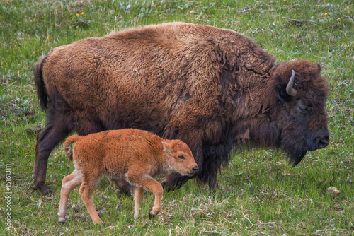 Canvas Bison Bison Calf with Mom
