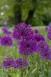 Allium Blooms