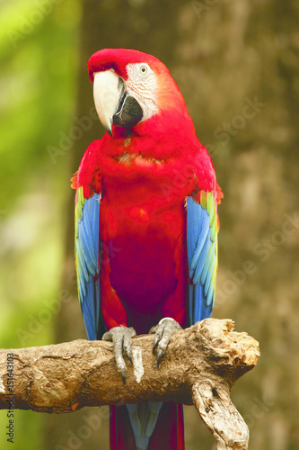 Red blue parrot sitting on wooden branch facing left looking at me in the forrest at daytime.