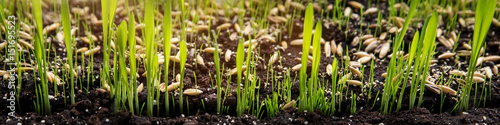 Foto Murales Anzucht von Katzengras oder Zyperngras, Samen und Sprößlinge