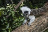 Cotton Top Tamarin Saguinus Oedipus lain on tree branch in sunlight