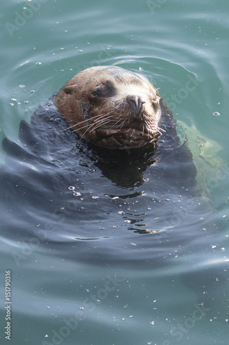 Male sea lion lying in the ocean water with closed eyes near the shore on a wint Poster