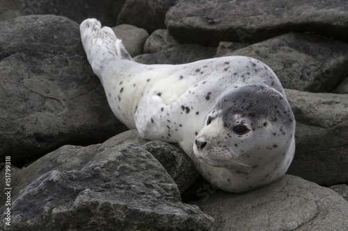 Young spotted seal lying among the stones on the shore of a quiet ocean on a spr Poster