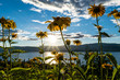 yellow garden flowers with sun flare / burst and blue skies in okanagan valley