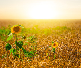 golden wheat field at the sunset landscape