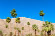 Palm Trees in Palm Springs, California, USA