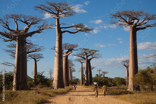 Fotobehang Baobab Baobab Alley, Madagascar
