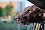 Dog Looking Out Of Car Window, Cute German pointer dog traveling with family