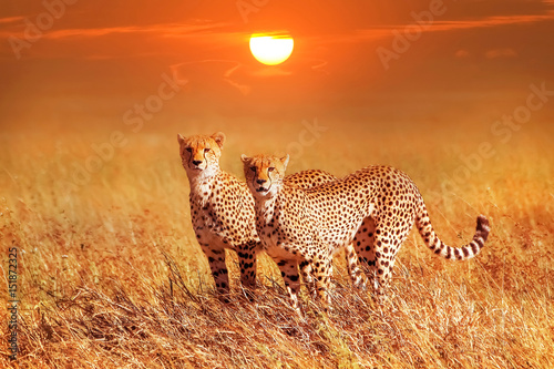 Two cheetahs in the Serengeti National Park Poster
