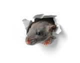 Fototapety Cute funny rat looking out of hole in white paper