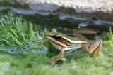 Green paddy frog