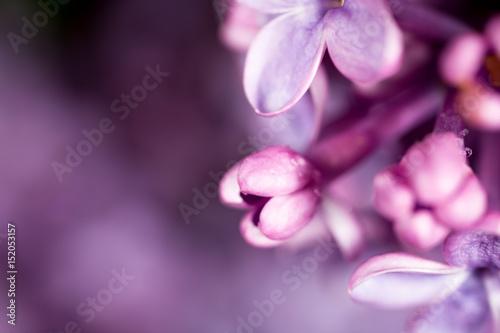 Beautiful little flowers of lilac. macro