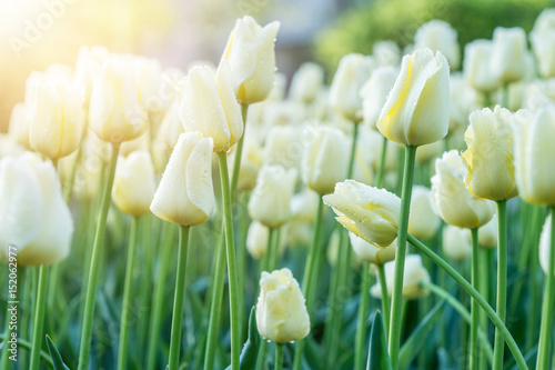 White tulips in sunny rays