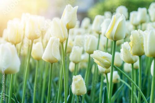 Fototapety, obrazy : White tulips in sunny rays