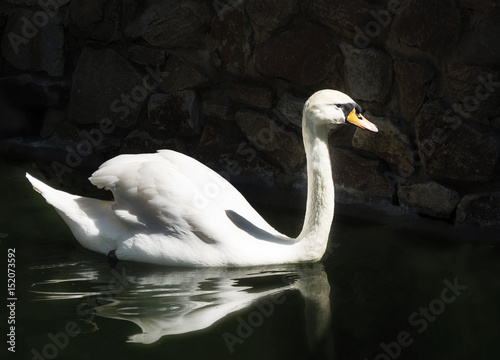 Fotobehang White swan on a black lake. sunny day.