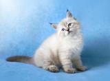 Siberian colorpoint kitten ob blue velvet background - 152120900