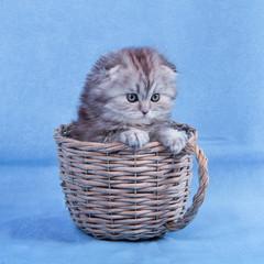 Sweet scottish fold kitten in basket