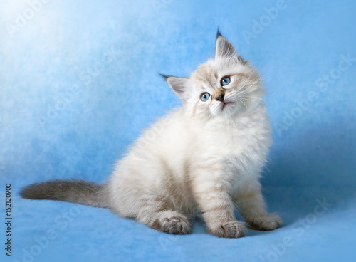 Poster Siberian colorpoint kitten ob blue velvet background