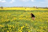 Hund im Frühling steht in einer Wiese mit Löwenzahn auf der Insel Rügen