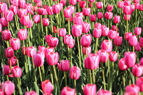Meadow of bright and pink tulips in the sunlight.