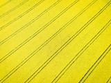 Ackerbau - Luftbild, diagonale Fahrgassen im blühenden Rapsfeld aus der Vogelperspektive