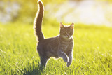 tabby cat fun running on green meadow in Sunny summer day