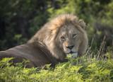 Beautiful Male Lion, Ngorongoro