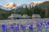 Tatra mountains, Poland, crocuses in Chocholowska valley, spring