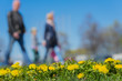 Blurred background of Young family with kids in park, spring season, green grass meadow, bright yellow young dandelions. Concept of people activities, lifestyle