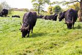 Buffalos on the farm