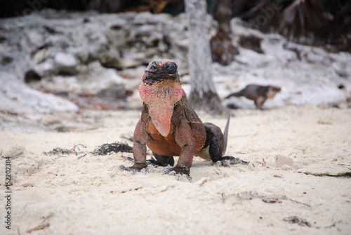 Pink and black iguana on sandy beach, head-on Poster