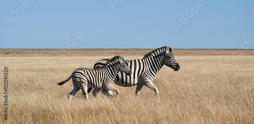 Two zebras, mom and puppy © lucaar